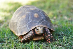 Adult red footed tortoise walks in the grass outside on a sunny day in the shade showing off his red spots and beautiful brown spotted carapace and plastron shell