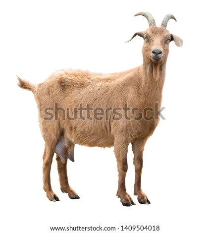 Adult red goat with horns and milk udder. Isolated Foto stock ©