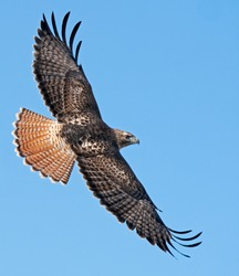 Adult redtailed hawk in a soar