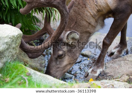 stock photo adult reindeer drinks from a stream in skansen stockholm sweden 36113398 anime xxx