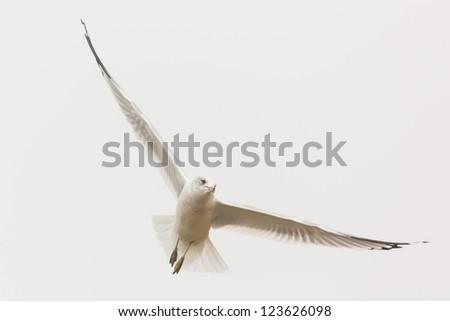 Adult Ring-billed Gull, Larus delawarensis, in the sky