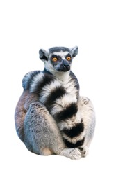 Adult ring-tailed lemur. Photo on the white background.