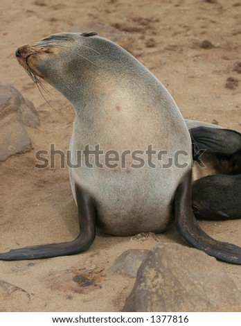 stock photo : Adult seal with lactating newborn. Skeleton coast, Namibia