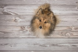 Adult shetland sheepdog seen from above looking up on a brown wooden floor