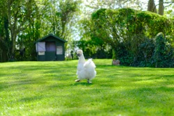 Adult silkie hen seen about to run to a distant chicken house, ready to lay her free range egg. One of a number of free range chickens in a large, private garden.