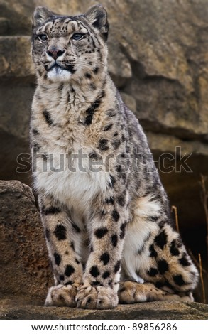 Adult Snow Leopard Sitting on the rock looking away