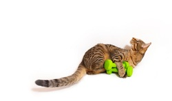 Adult spotted and striped cat with green dumbbells. Active strong healthy cat, useful and proper nutrition for Pets, food for active cats. White background with space for text