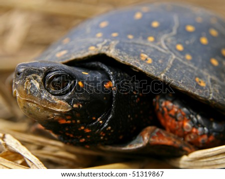 Adult Spotted Turtle (Clemmys guttata)