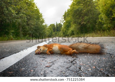 Adult squirrel hit by car on paved forest highway. Car as cause of death of many millions of mammals every year #751225384