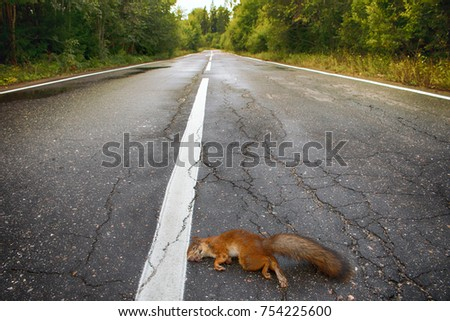 Adult squirrel hit by car on paved forest highway. Car as cause of death of many millions of mammals every year #754225600