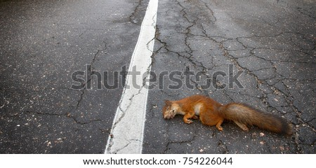 Adult squirrel hit by car on paved forest highway. Car as cause of death of many millions of mammals every year #754226044
