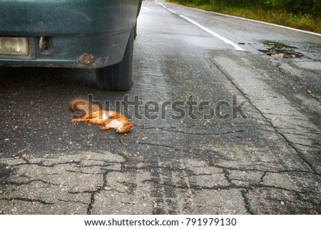 Adult squirrel hit by car on paved forest highway. Car as cause of death of many millions of mammals every year. With car in background #791979130