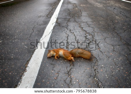 Adult squirrel hit by car on paved forest highway. Car as cause of death of many millions of mammals every year #795678838