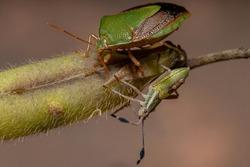 Adult Stink Bug of the species Edessa meditabunda with a Leaf-footed Bug Nymph of the species Athaumastus haematicus