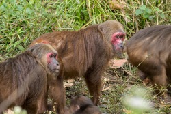 Adult Stump-tailed Macaques (Macaca arctoides) in a group.