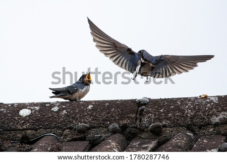 Photo of  Adult swallow (Hirundo rusticana) feeds a young fledgling swallow on an English country rooftop while the fledgling swallow calls out for food.