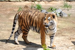 Adult tiger in their natural habitat