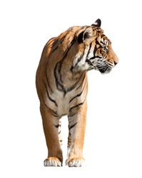 Adult tiger. Isolated  over white background with shade