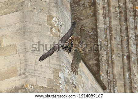 Adult to juvenile peregrine food pass at Chichester Cathedral #1514089187