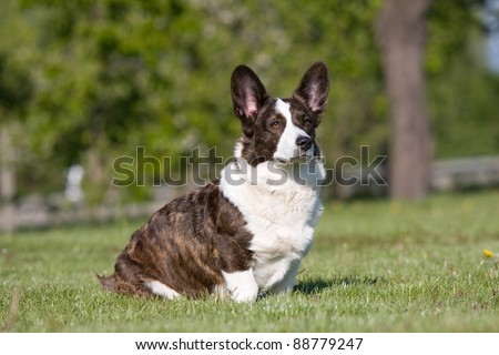 Adult welsh corgi cardigan posing