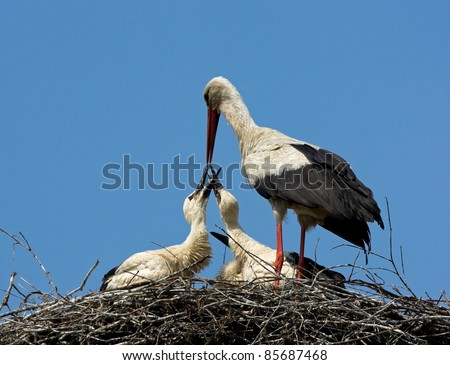 stock photo adult white storks feeding chicks 85687468 310 Adult Chat Line Phone