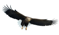 Adult White-tailed eagle in flight. Front view. Isolated on White background. Scientific name: Haliaeetus albicilla, also known as ern, erne, gray eagle, Eurasian sea eagle and white-tailed sea-eagle