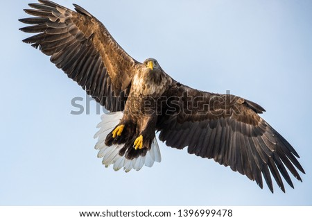 Adult White-tailed eagle in flight. Front view. Sky background. Scientific name: Haliaeetus albicilla, also known as the ern, erne, gray eagle, Eurasian sea eagle and white-tailed sea-eagle.