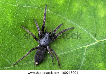 Adult white-tailed spider showing body pattern details on a green leaf. - stock photo
