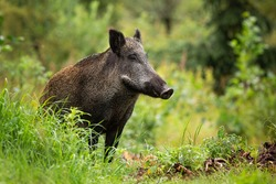 Adult wild boar with wet fur standing alone in the green forest