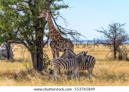 Adult zebra and giraffe getting some shade on the savannah of Etosha National Park, Namibia, Africa
