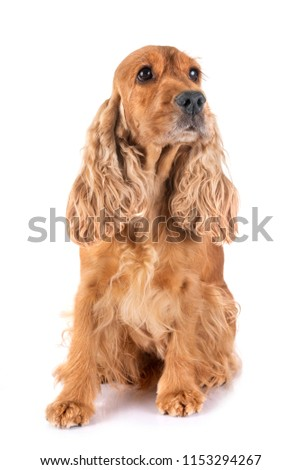adulte cocker spaniel in front of white background #1153294267