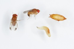 Adults, larva and pupa of Drosophila suzukii - commonly called the spotted wing drosophila or SWD. It is a fruit fly a major pest species of many kind of fruits in America and Europe.