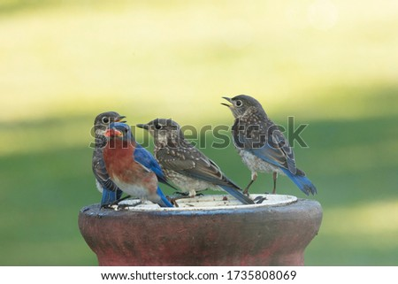 Adutl bluebird preparing to feed her young Stock photo ©