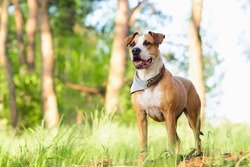 Adventure dog in the forest, bright sun lit image. Staffordshire terrier mutt outdoors, happy and healthy pets concept