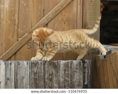 adventurous red tabby kitten on a wooden fence