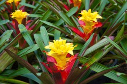 Aechmea fasciata or pineapple flowers yellow, green and red plant