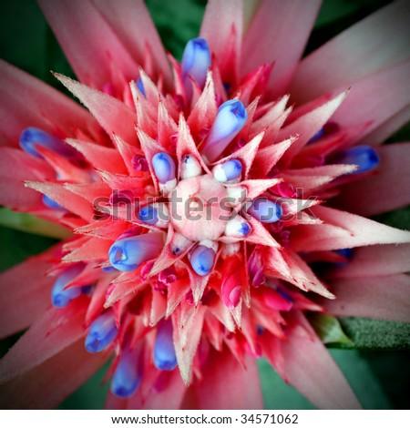 Fasciata Flower Fasciata Primera Flower