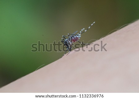 Photo of  Aedes Mosquito sucking blood.Dengue Fever is spread through the bite of the Aedes Mosquito.