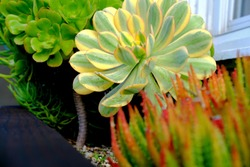 Aeonium decorum 'Sunburst' flanked by with other succulent aeonium plants on a flower bed.