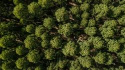 Aerial capture of eucalyptus plantations. Aerial capture with drone.
