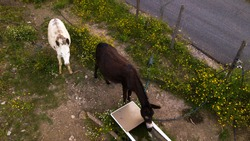 Aerial detail of three donkeys grazing and drinking. These animals are white, gray and black and look in front of them. These are excellent beasts of burden.