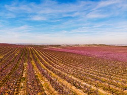 Aerial drone picture of vast pink fields of flowering peach trees. Spectacular colored blossoming in the early spring under blue clouds. First signs of spring in Spain. Aitona Lerida Lleida