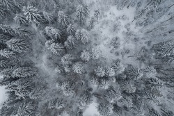 Aerial drone view in mountain forest. Winter landscape. Snowy Fir and Pine trees. Snowy tree branch in a view of the winter forest. Winter landscape, forest, trees covered with frost, snow.