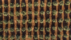Aerial drone view of a olive trees plantage for the production of olive oil near Antequera, Andalusia, south Spain. Olive tree fiel seen from above