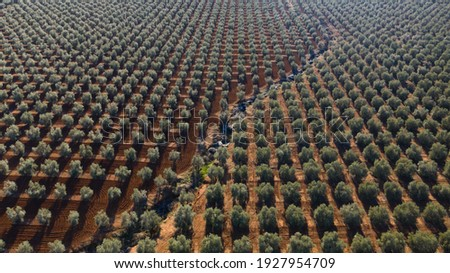 Aerial drone view of a olive trees plantage for the production of olive oil near Antequera, Andalusia, south Spain. Olive tree fiel seen from above Foto stock ©