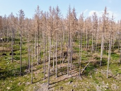 Aerial drone view of forest dieback in northern central Germany. Dying spruce trees in the Harz mountains, Saxony-Anhalt. Drought and bark beetle infestation, global warming and climate change.
