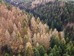 Aerial drone view of forest dieback in northern central Germany. Dying spruce trees in the Harz mountains, Lower Saxony. Drought and bark beetle infestation, global warming and climate change.
