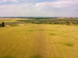 Aerial drone view. Ukrainian ripe cornfield on a sunny day.