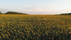 Aerial fly over beautiful of sunflowers field while sunset. Summer landscape with big yellow farm field with sunflowers. Top view onto agriculture field with blooming sunflowers and sunlight.