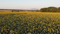 Aerial fly over sunflower field. Aerial fly over agriculture field with blooming sunflowers. Summer landscape with big yellow farm field with sunflowers on background mountains. Cinematic Shooting.